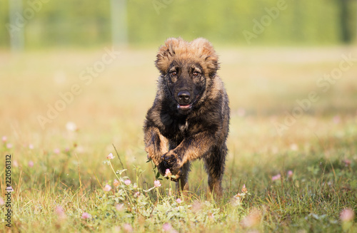 Fotografia, Obraz Caucasian shepherd puppy on the grass in the park