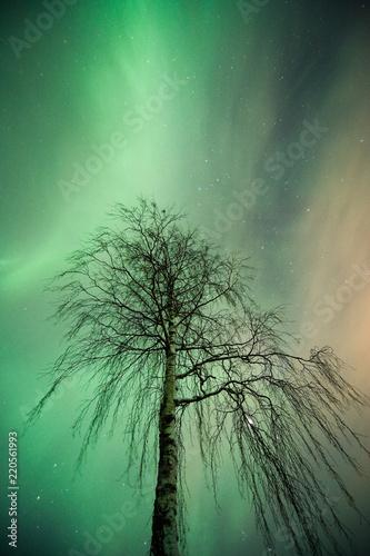 Photo  Aurora Borealis corona above lonely birch tree
