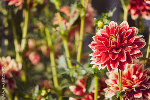 Flower red Dahlia macro, space for text. Stylish, tinted floral background.