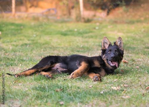 Stampa su Tela german shepherd dog