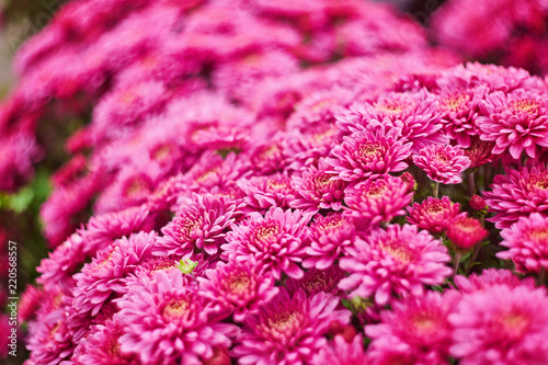 Spoed Foto op Canvas Roze Red Chrysanthemums bunch in floral shop, seamless pattern flowers background. Bouquet of red-yellow chrysanthemums like tiny daisies floral print pattern.