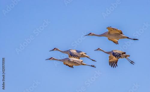 Valokuva Sandhill cranes in flight at Bosque del Apache National Wildlife Refuge, San Ant