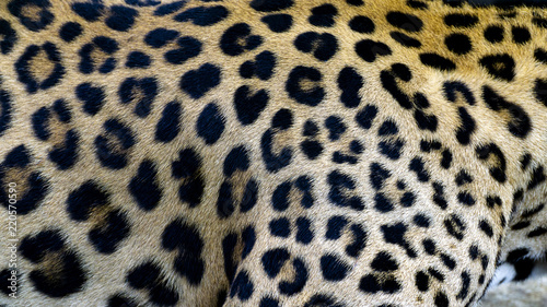 Photo Stands Panther Beautiful Leopard skin texture background natural pattern, with Copy Space for Text.