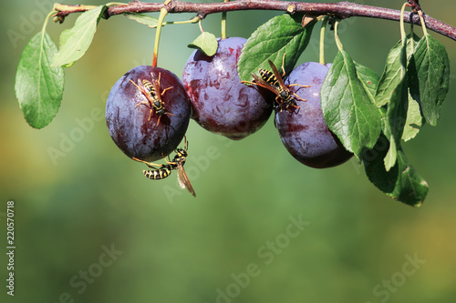 striped dangerous insects wasps flew in a garden on a branch with a crop of ripe purple fruits plums ripe them on a  day