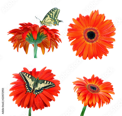 gerbera flower isolated on white. butterfly machaon on a bright orange gerbera flower.
