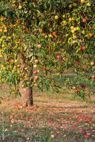 Streuobstäpfel / Apfelbaum mit Fallobst auf Streuobstwiese
