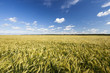 field with green rye