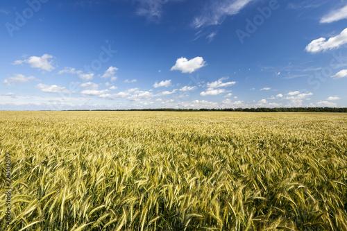 Fototapeta field with green rye obraz