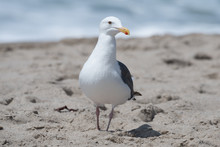 Seagull At The Beach In Malibu...
