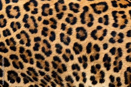 Detail skin of leopard. Wallpaper Mural
