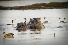 Two Large Hippopotamus In African River