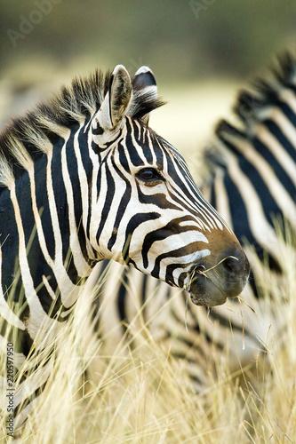 In de dag Zebra Wild African Zebra standing in tall grass