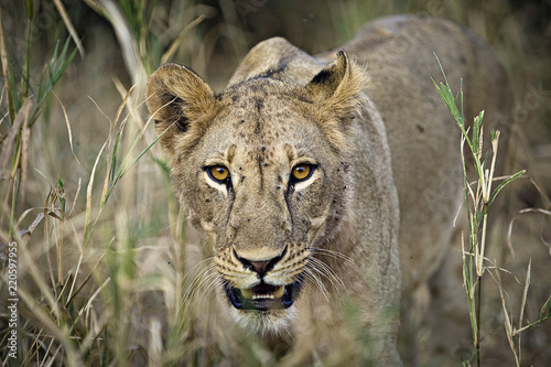 Foto  Wild lioness walking through tall grass in Africa