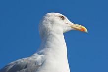 Seagull Portrait Close Up