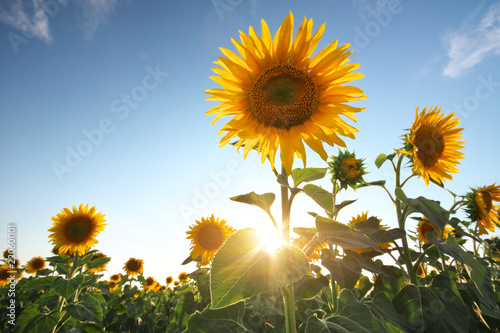 Autocollant pour porte Tournesol Field of sunflowers.