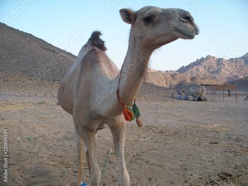 Baby White Camel