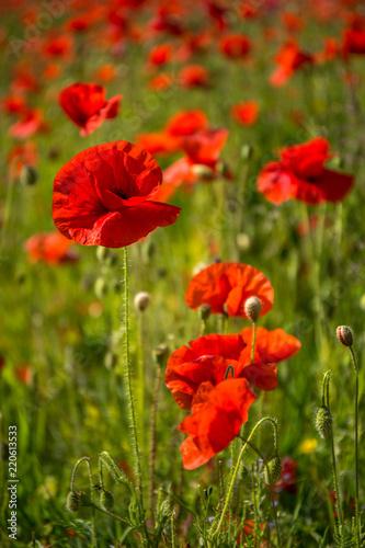 Fotobehang Poppy Red Poppies, Polly Joke, West Pentire, Cornwall