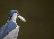 Black Crowned Night Heron (Nyc...