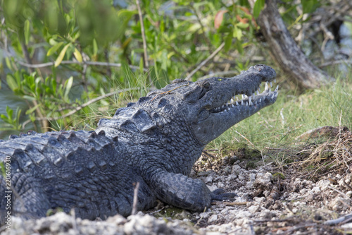 12 feet American crocodile (Crocodylus acutus) warming up in the sun.