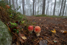 Poisonous Mushrooms In The Misty Forest