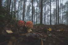 Poisonous Mushrooms In The Mis...