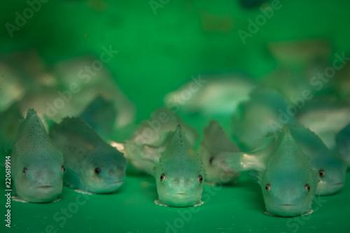 Lumpfish (Cyclopterus lumpus) in a rearing tank Wallpaper Mural