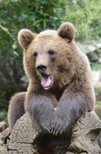 Fotografie, Obraz  orso bruno