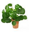 canvas print picture - Ufopflanze, pilea peperomioides