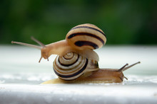One Striped Snail Sits On The ...