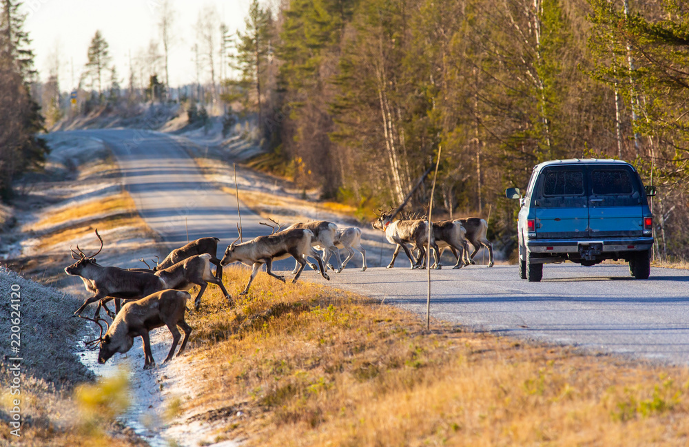 Reindeers almost causing a collision on the road