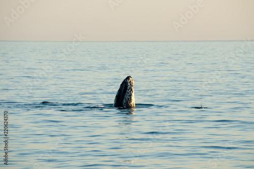 Humpback Whale - Exmouth - Australia