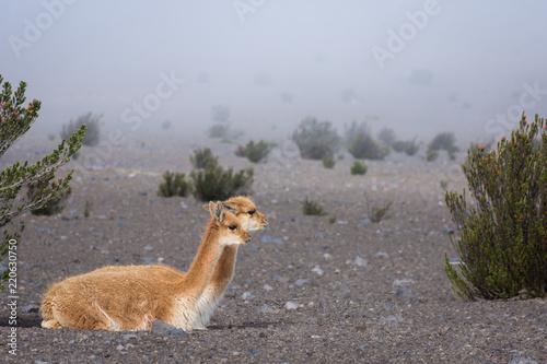 In de dag Zuid-Amerika land Vigognes dans le parc national du volcan Chimborazo