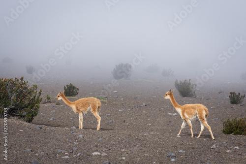 In de dag Zuid-Amerika land Vigognes, Chimborazo, Équateur