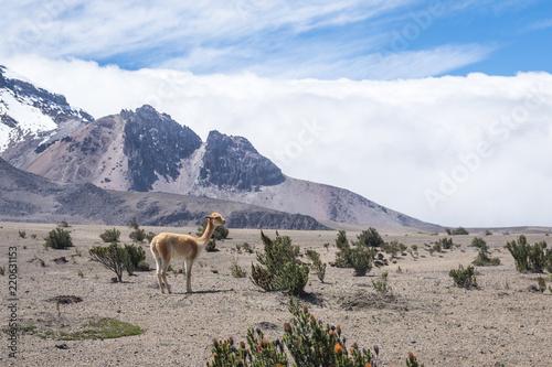 In de dag Zuid-Amerika land Vigogne et volcan Chimborazo, Équateur