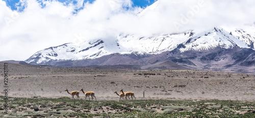 In de dag Zuid-Amerika land Vigognes et volcan Chimborazo, Équateur