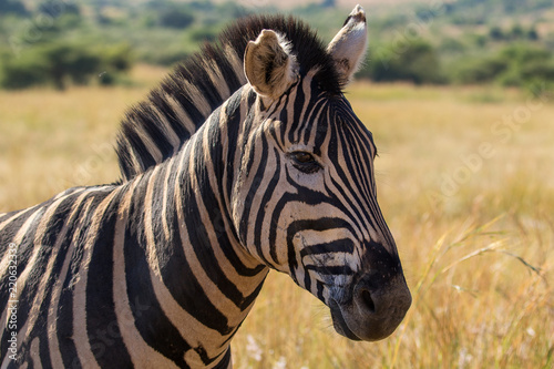 Zebra portrait up close, Pilanesberg National Park, South Africa