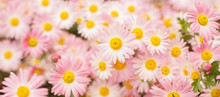 Nature Autumn Background With Pink Chrysanthemum Flowers