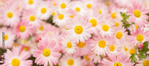 Nature autumn Background with pink chrysanthemum flowers Wallpaper Mural
