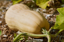 Butternut Squash Growing In Th...