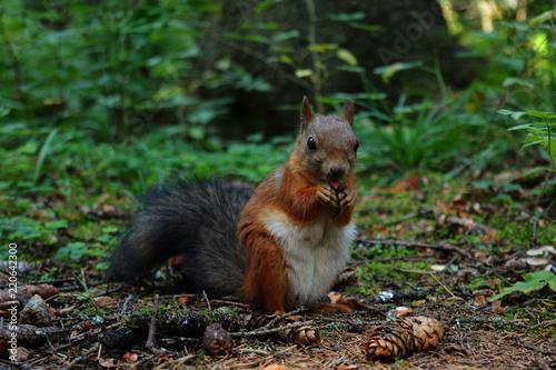 Zdjęcie XXL Puszyste wiewiórki je dokrętki zbliżają patrzeć w kamerę