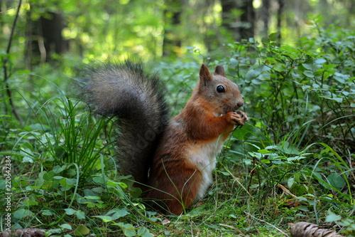 Zdjęcie XXL Piękny puszysty wiewiórczy obsiadanie w trawie i nadgryzać dokrętki