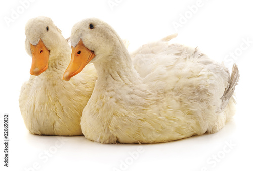 Two white ducks.