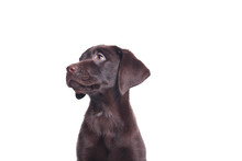 Lovely Chocolate Labrador