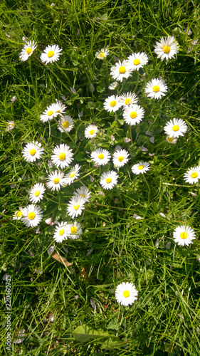 Foto op Canvas Madeliefjes Daisies on a green field