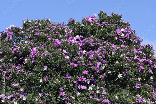 Fotografie, Tablou  Closeup of Glory Tree top fully flowery