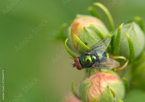 Fliege auf Hibiskusknospe