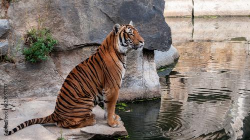 Tiger im sitzen