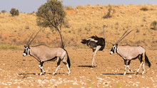 Two Gemsbok Walking From Right To Left In The Kgalagadi Transfrontier Park With An Ostrich Walking In The Other Direction