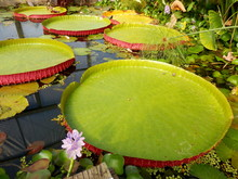Close Up Of A Water Lily Pad -...