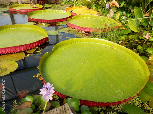 Valokuva Close up of a water lily pad - variety Tropical Giant